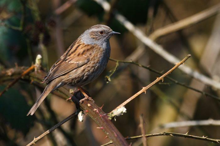 Nový kurz ČSO zaměřený na určování běžných druhů ptáků