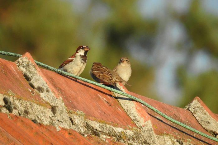 Vrabec domácí je králem anglických zahrad