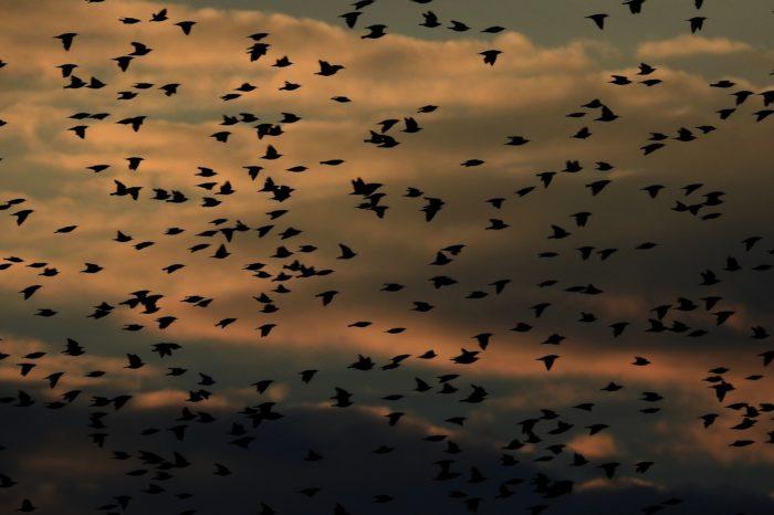Kontaktní hlasy ptáků zvyšují riziko nárazu do budov během migrace