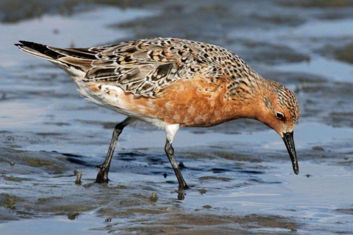 VIrsku klesá počet zimujících vodních ptáků