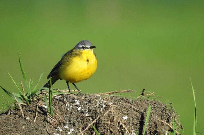 Jak ovlivňuje úspěšnost hnízdění konipase lučního jeho rozšíření vRusku?