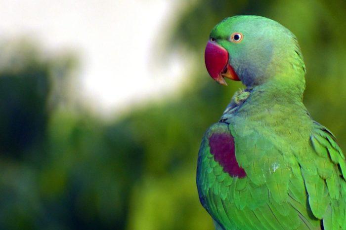 """""""Závislí"""" papoušci plundrují indické farmy"""