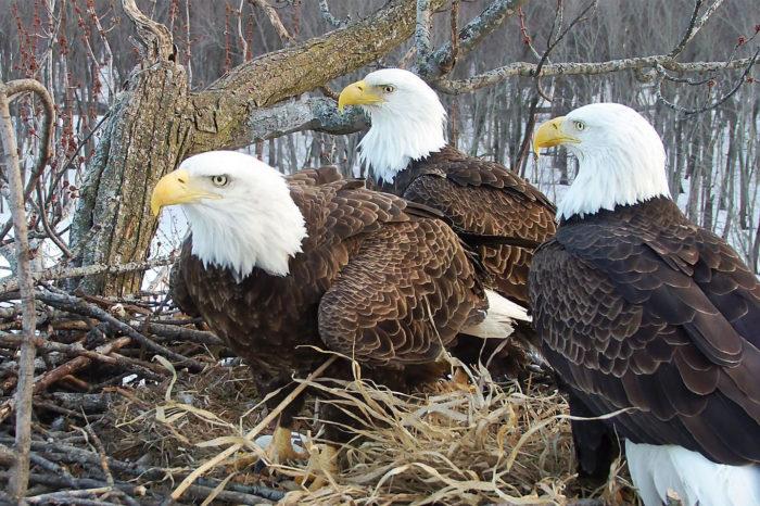 Tři do páru aneb hnízdní kuriozity u orlů bělohlavých