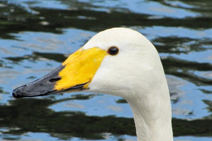 Další neúspěšné hnízdění labutě zpěvné v Chropyni