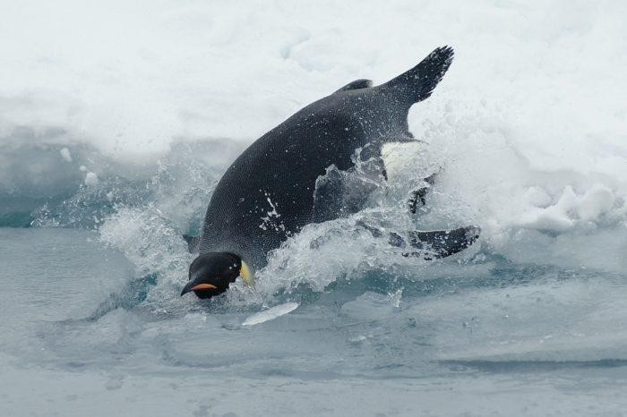 Tučňáci císařští na tenkém ledě