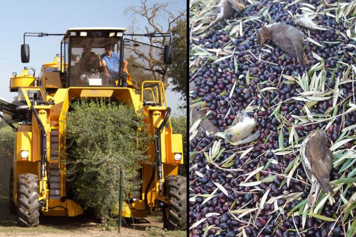 Miliony ptáků jsou ve Středomoří každoročně usmrceni při noční sklizni oliv