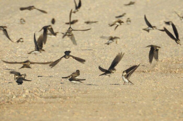Ornitologové vyzývají veřejnost: pomozte nám zmapovat břehule