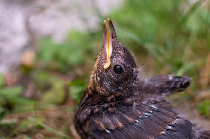 Proč někteří pěvci donutí mláďata opustit hnízdo dřív, než se naučí létat