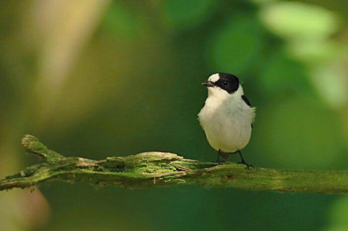 Množství zvěře a hospodaření v lužních lesích ovlivňuje společenstva ptáků