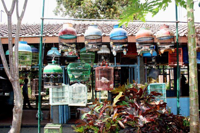 V Indonésii žije více ptáků v klecích, než ve volné přírodě