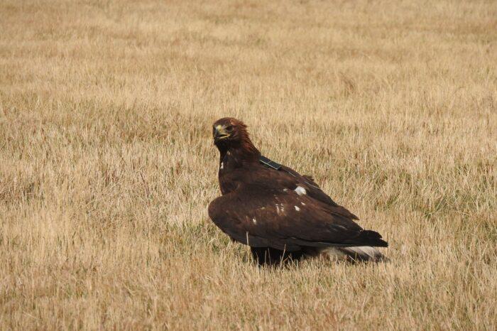 Jak si vede orlice Agáta, poslední orel, vypuštěný v České republice?