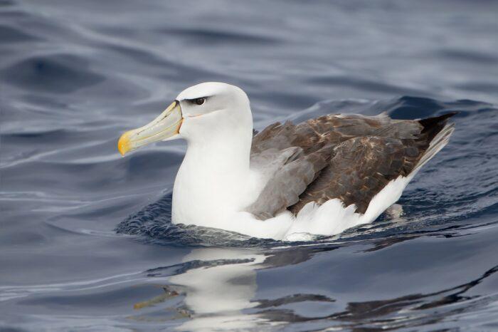 Kočka jako predátor albatrosů?