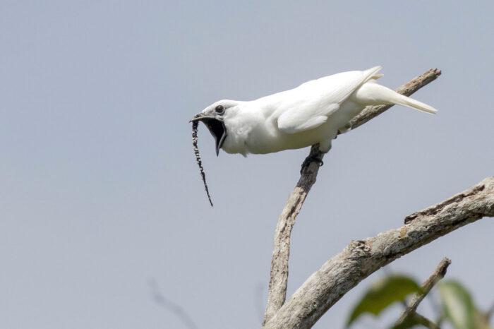 Poslechněte si nejhlasitějšího ptáka na světě