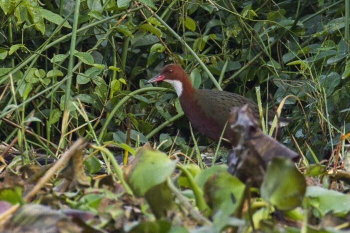 Jak evoluce zachránila nelétavého ptáka před vyhynutím