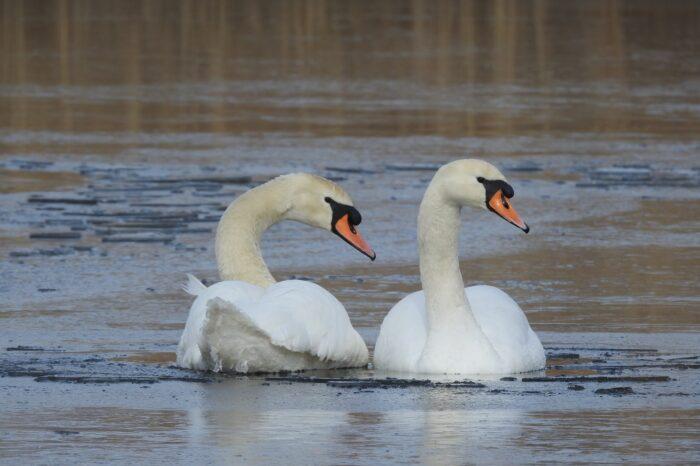 Řeka Berounka jako past pro vodní ptáky