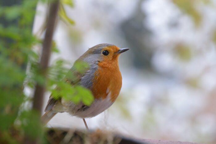 Vliv klimatických změn na ptactvo v Británii