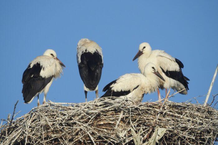Ornitologové v Moravskoslezském kraji opravovali čapí hnízda. Našli v nich i nebezpečné plasty.