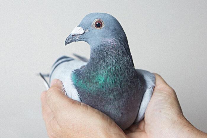 O holubech a lidech: Pomozme holubům, pomůžeme tím sobě