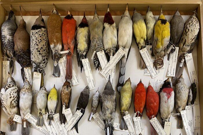 Měnící se klima ovlivňuje podle studie podobu ptačích těl