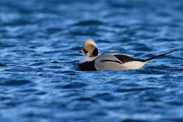55. ročník Mezinárodního sčítání vodních ptáků proběhne již tento víkend