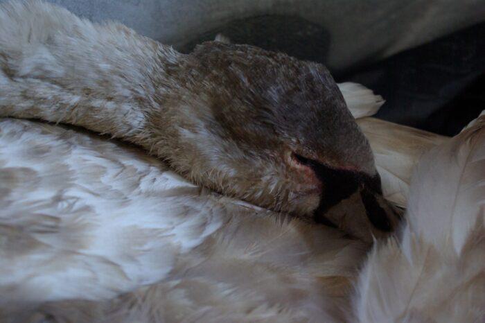 Nejhorší Silvestr pro labutě v naší historii, říká ošetřovatelka pražské záchranné stanice