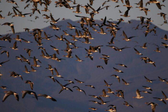 Významné nocoviště hus na východním Slovensku ohrožují lovci