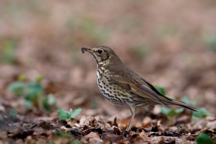 """Drozdí """"kovadliny"""" jsou zdrojem vápníku i pro další ptáky"""