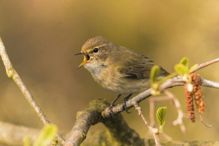 Jak jsou ptáci slyšitelní v lužním lese?
