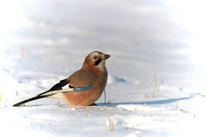 Výsledky lednového sčítání ptáků na krmítkách jsou již známé