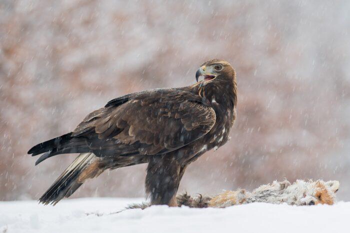 Samice orla skalního Tonička sedí na snůšce