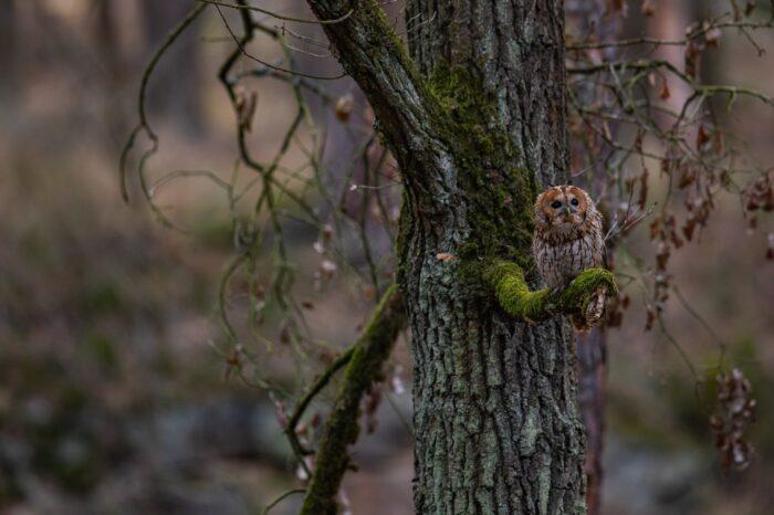 Lesníci hodlají vracet sovy do lesů: vyvěšováním budek a ponecháním doupných stromů