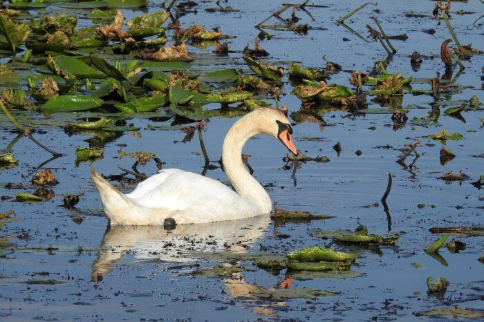 Pomozte zmapovat labutě ve Slezsku
