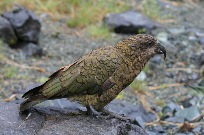 Novozélandští papoušci se při rozhodování řídí teorií pravděpodobnosti, podobně jako člověk