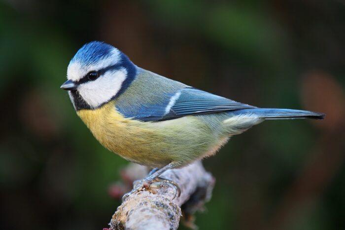 V Německu ornitologové zjistili nemoc postihující modřinky