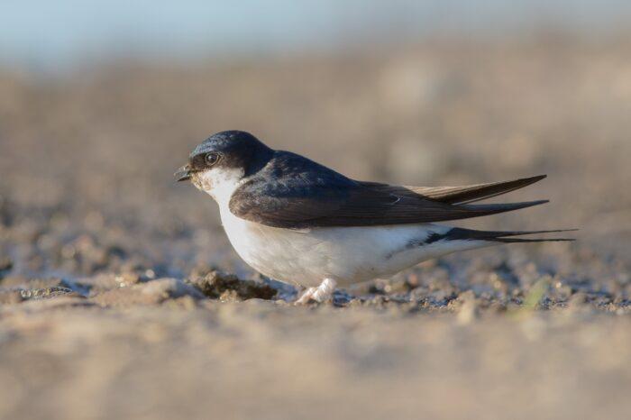 Ornitologové vyzvali k pomoci jiřičkám a ochraně jejich hnízd