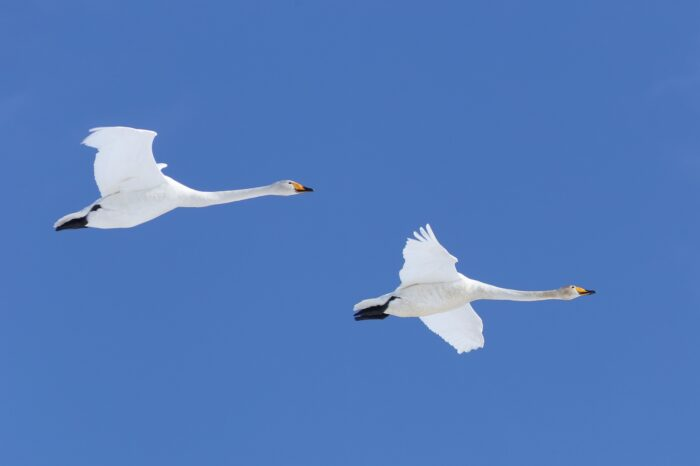 Labuť zpěvná Zpěvanka přišla o mláďata i o partnera