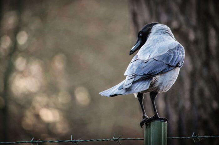 Evoluce velkých mozků u ptáků
