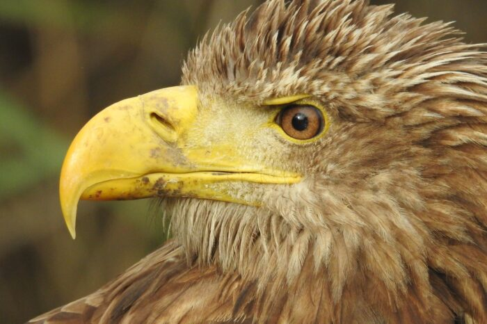 Hnízdění orla mořského vcentru velkoměsta