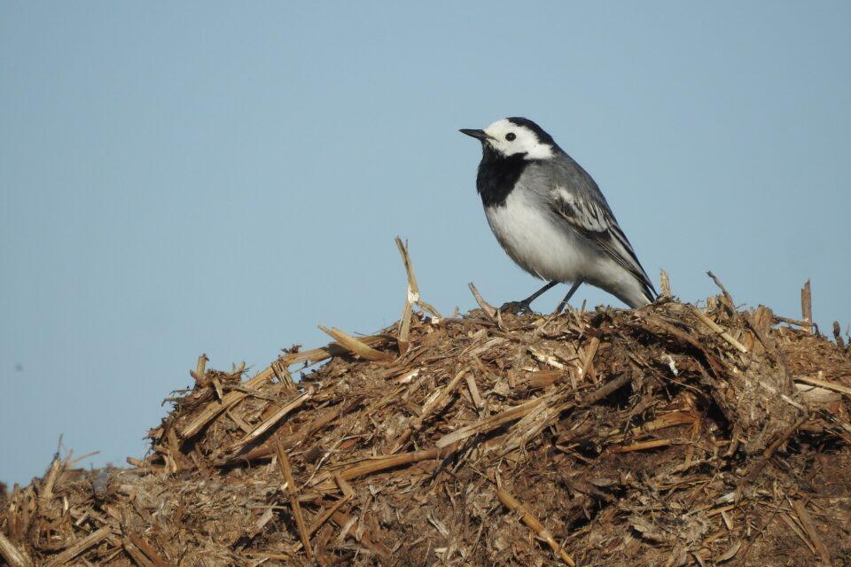 Hnojiště na polích zvyšují diverzitu ptáků v zemědělské krajině
