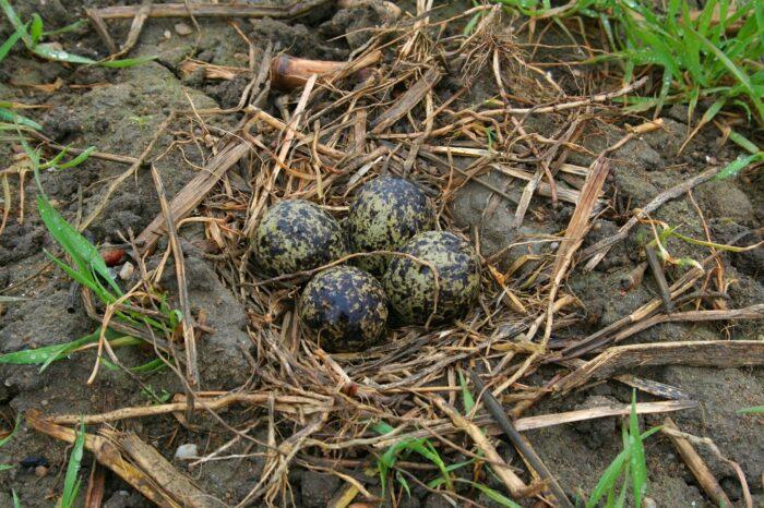 Ochrana hnízd čejek chocholatých na Vysočině v roce 2020
