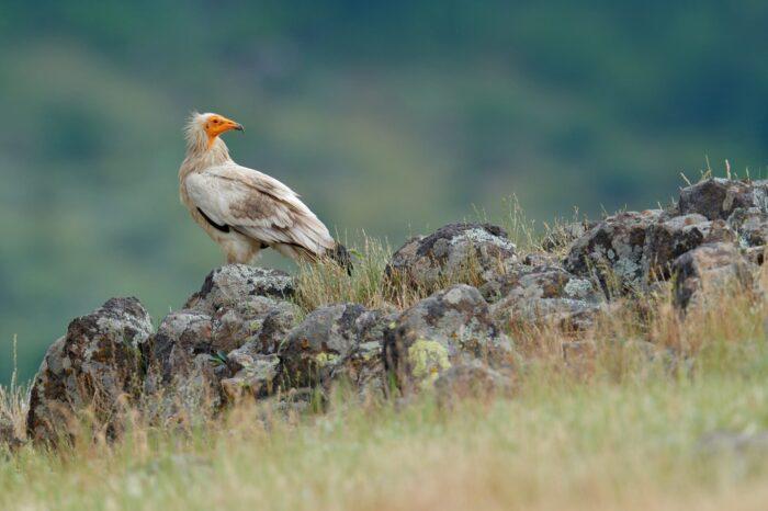 Další sup mrchožravý posílí balkánskou divokou populaci