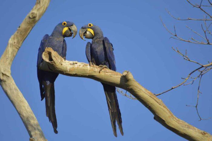 Ara hyacintový v ohrožení: Požáry v Brazílii zničily významnou domovinu vzácného papouška