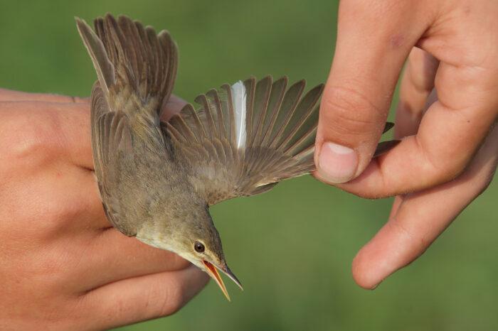 Jaké bylo letošní kroužkování ptáků na Zrcadle?