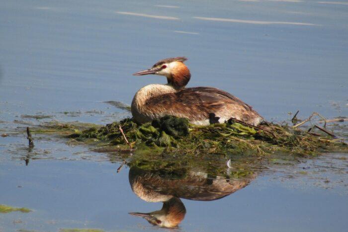 Jak rybí obsádka ovlivňuje početnost vodních ptáků v rybníku?