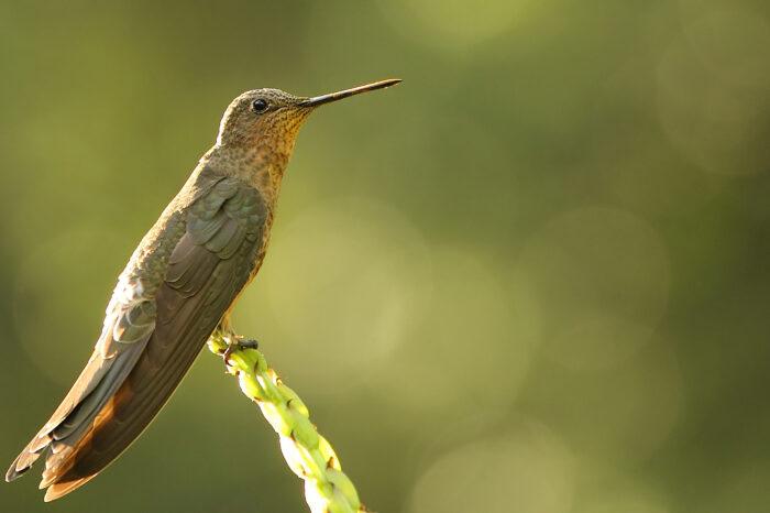 Bude zima, bude mráz: Andští kolibříci přežívají chladné noci pomocí hibernace