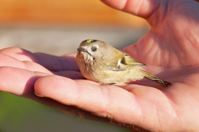 Co se děje s ptáky, kteří přežijí náraz do prosklené plochy?
