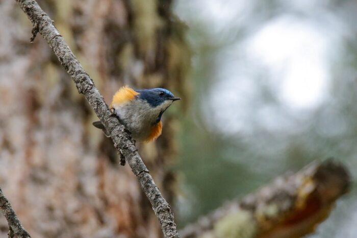 Rekordní sezóna pro modrušky tajgové ve Finsku