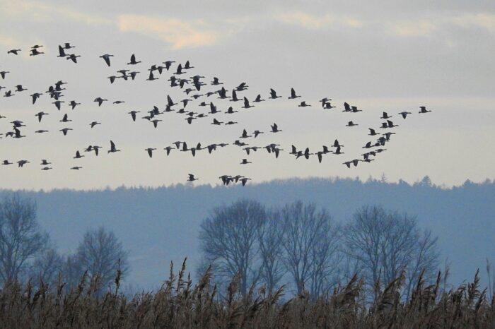 Podzimní migrace stěhovavých ptáků zvyšuje riziko ptačí chřipky