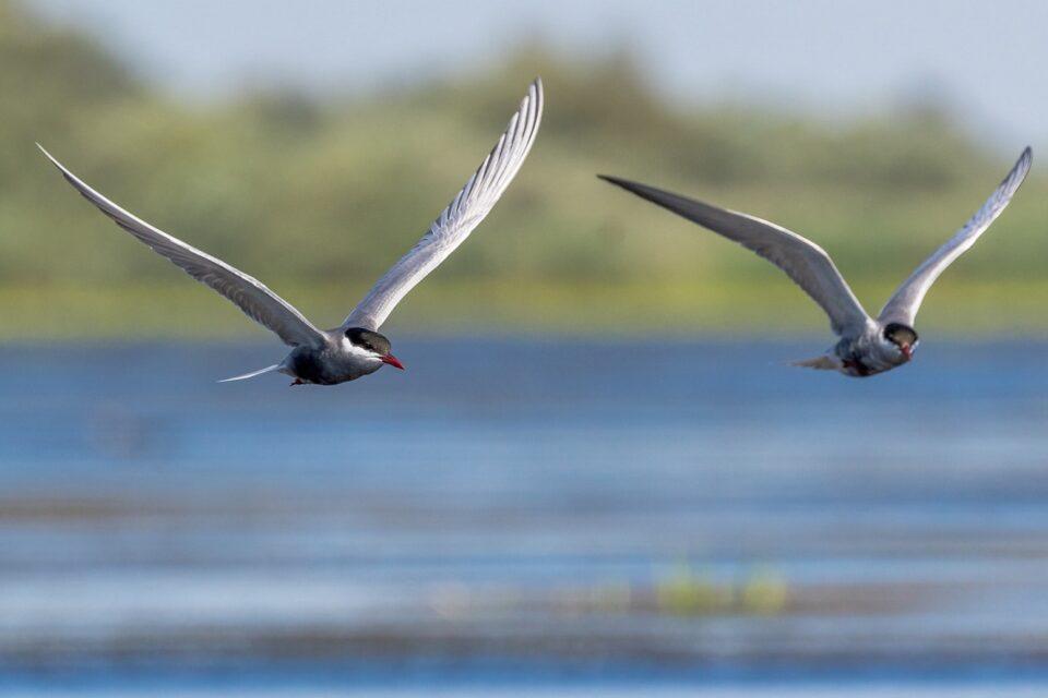 Výjimečná ptačí sezóna 2020 na rybníku Nesyt