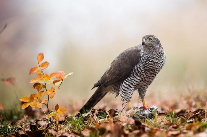Kooperativní lov u jestřába lesního